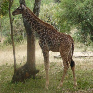 Национален парк Найроби, Кения (Част 2)
