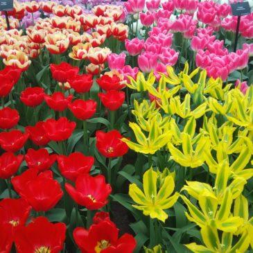 Кукенхоф, Холандия – най-голямата градина с лалета в света