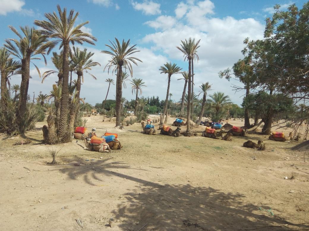 Разходка с камила, Маракеш, Мароко, picture 1