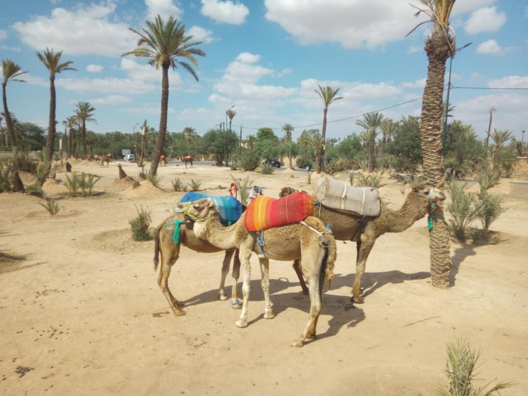 Разходка с камила, Маракеш, Мароко, picture 2