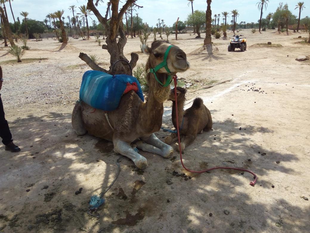 Разходка с камила, Маракеш, Мароко, picture 3
