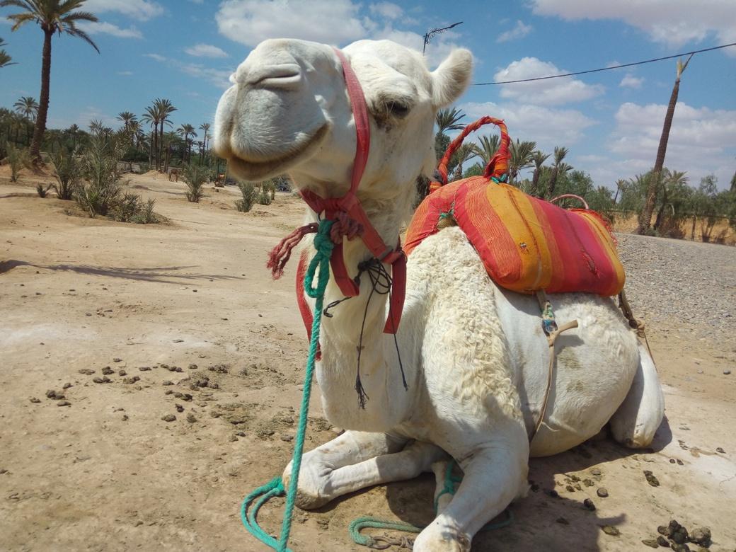 Разходка с камила, Маракеш, Мароко, picture 4