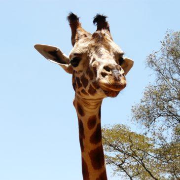 Giraffe Center, Найроби, Кения