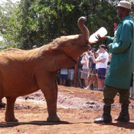 Дом за малки слончета, Найроби, Кения