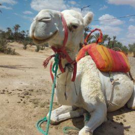Разходка с камила и градината на Ив Сен-Лоран, Маракеш, Мароко